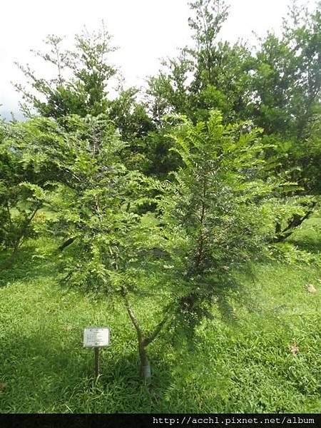 紅豆杉苗 (Large)