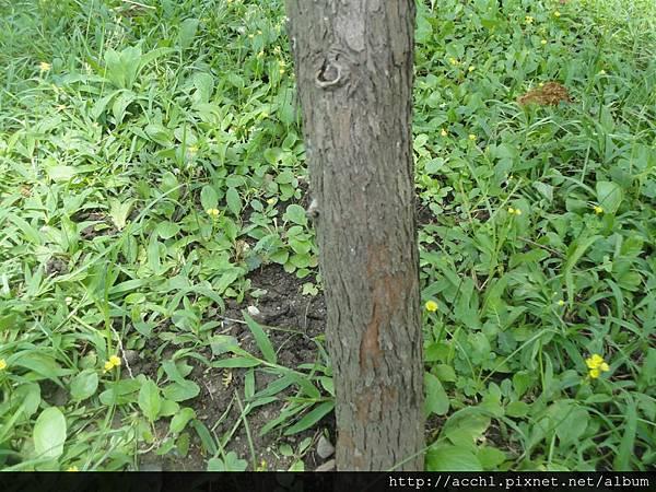 紅檜樹幹 (Large)