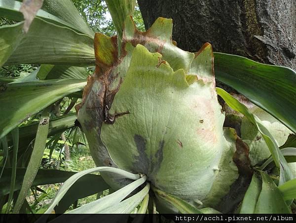 鹿角蕨的營養葉 (Medium)