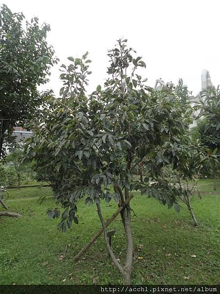 柿樹1 (Large)
