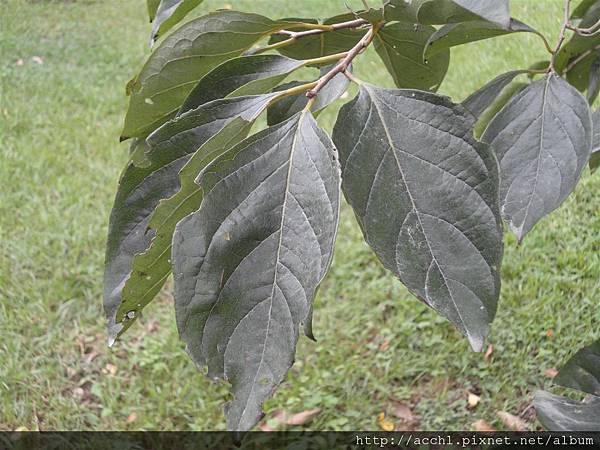 柿樹葉 (Large)