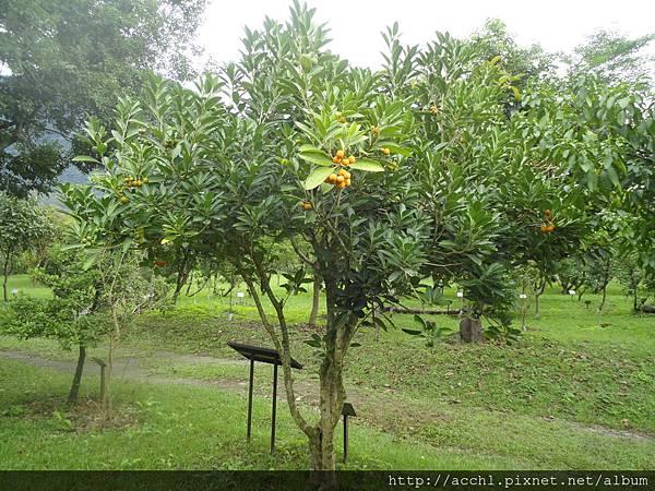 馬蹄花樹型