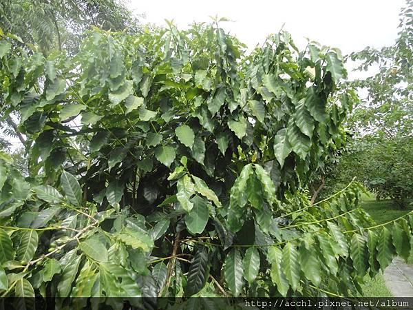 咖啡密生叢生枝