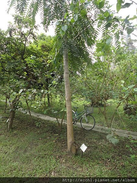 香椿樹幹筆直細長