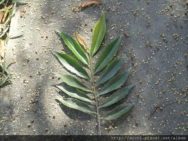 銳葉柃木2