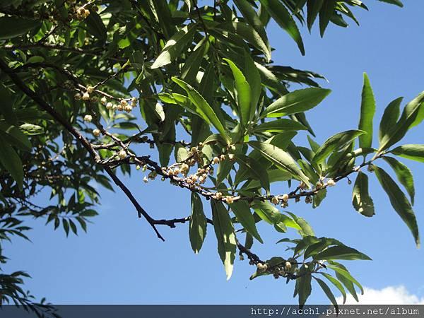 銳葉柃木花