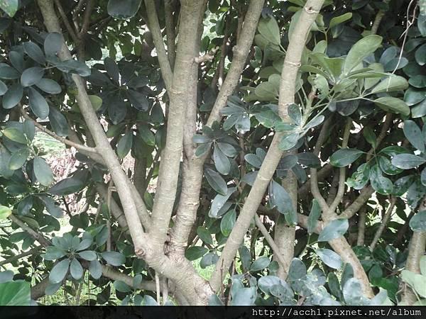 鵝掌藤叢生枝 (Large)