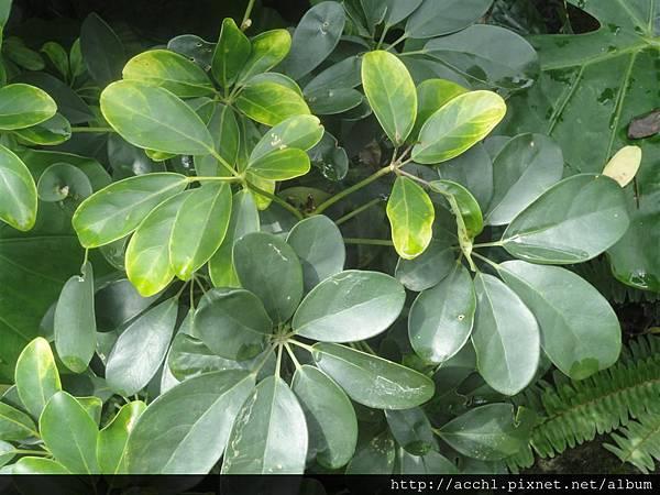 鵝掌藤掌狀葉似鵝掌 (Large)