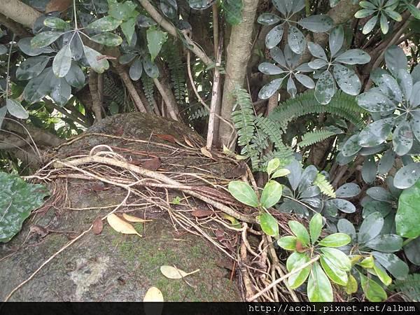 鵝掌藤氣生根 (Large)