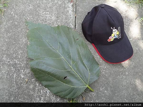 長果桑樹葉比帽子更大 (Large)