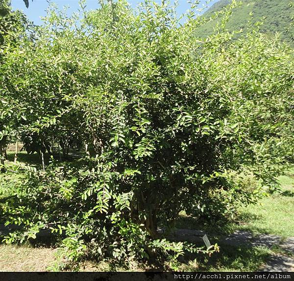 西印度櫻桃灌木形態 (Large)