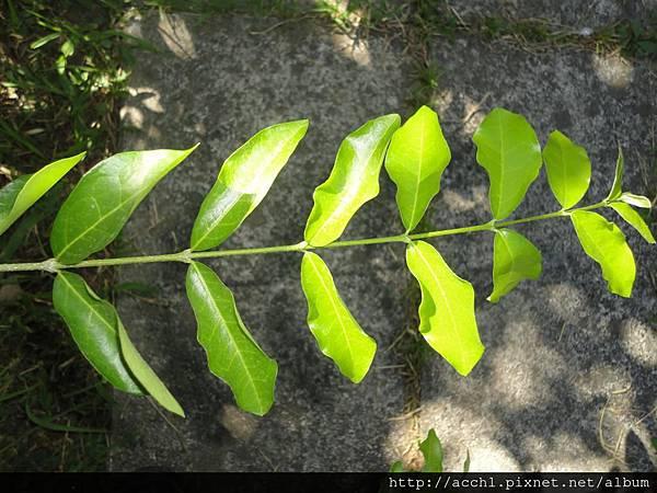 西印度櫻桃對生葉 (Large)