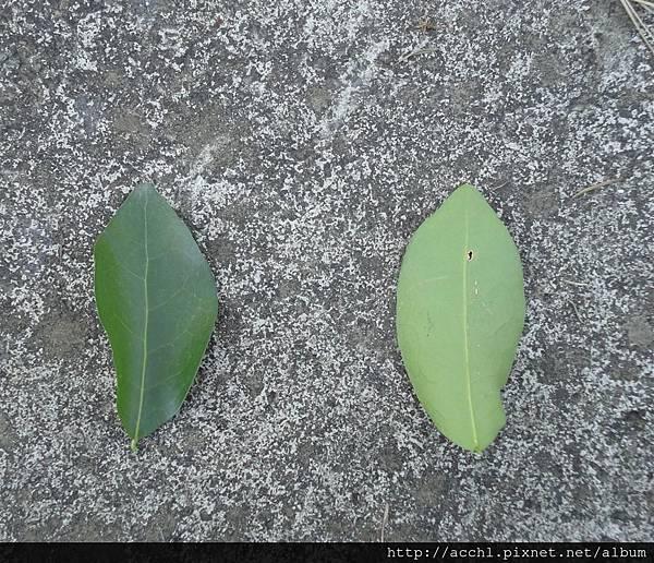 西印度櫻桃葉面及葉背 (Large)