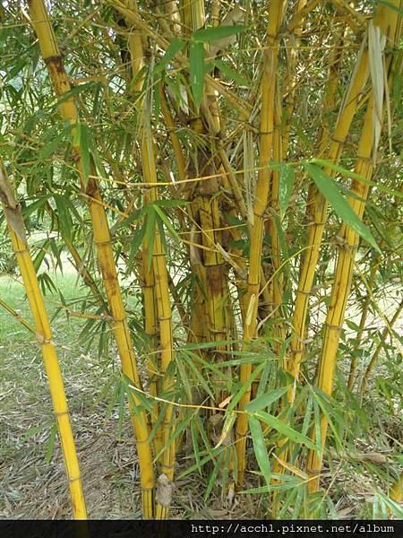 金絲竹幹 (Large)
