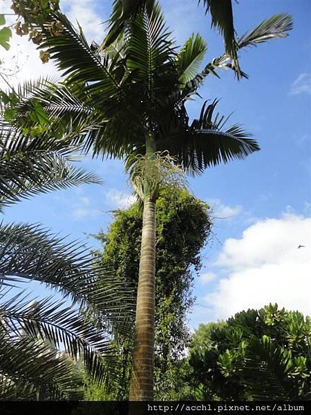 亞歷山大椰子樹形 (Large)