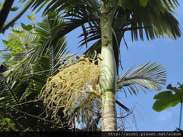 亞歷山大椰子的花 (Large)