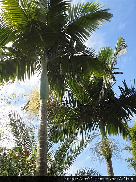 亞歷山大椰子長像檳榔樹 (Large)