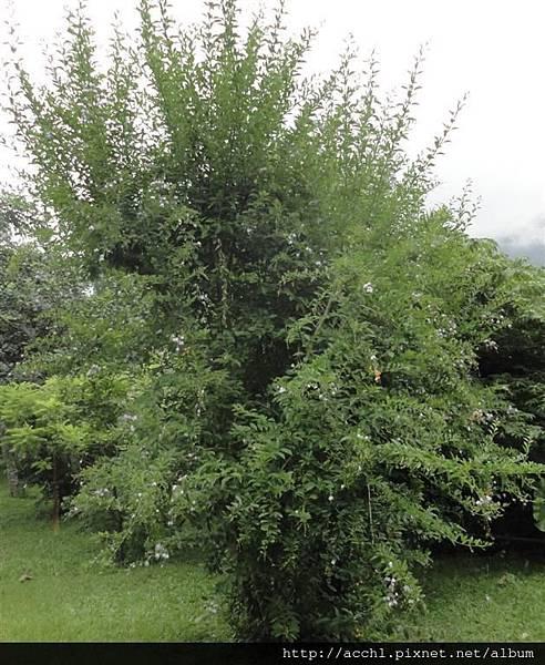 金露花樹形 (Large)