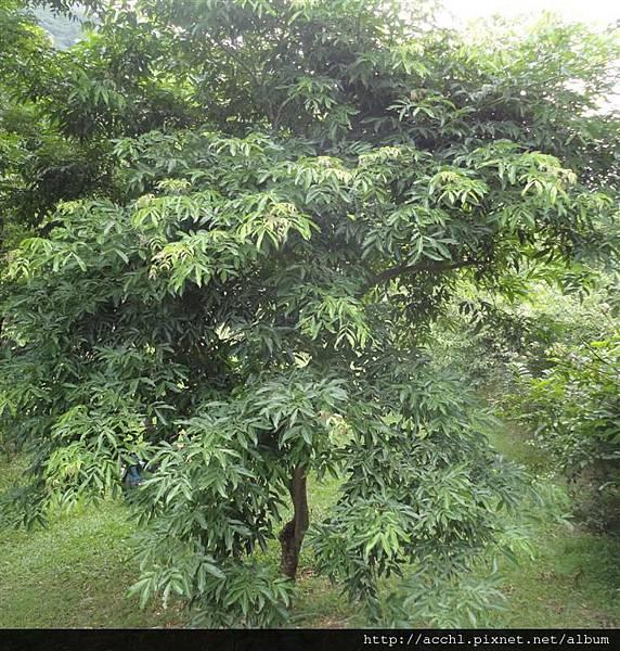 頷垂豆樹形 (Large)