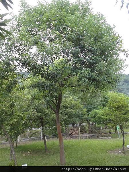 樟樹 (Large)