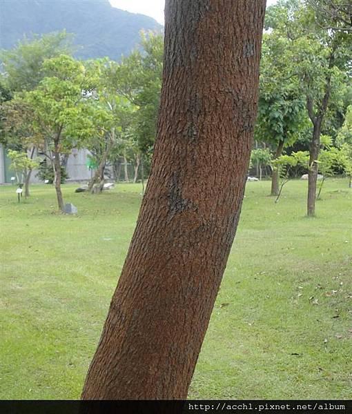 樟樹主幹 (Large)