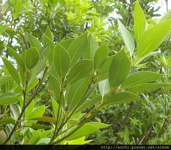 紅楠枝葉 (Large)