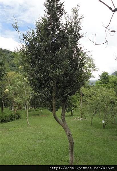 細葉蚊母樹樹形2 (Large)