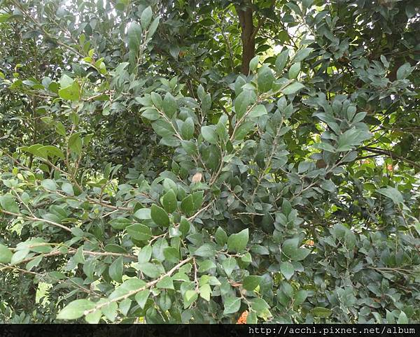 細葉蚊母樹枝葉 (Large)