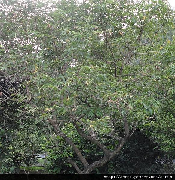 披針葉鰻頭果樹形 (Large)