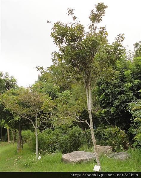瓊楠樹形 (Large)
