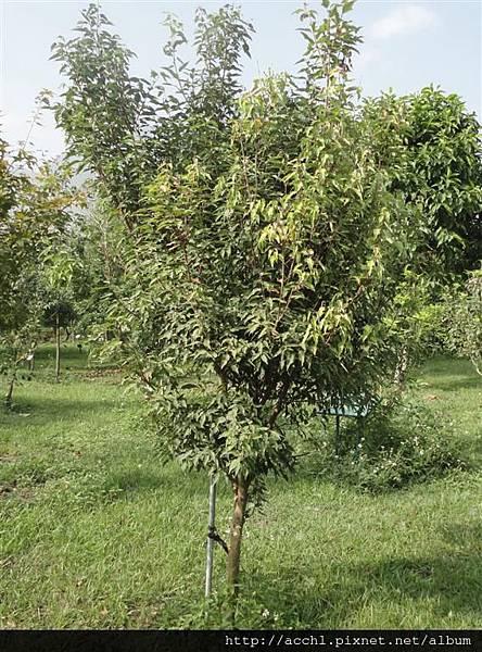 樟葉槭 (Large)