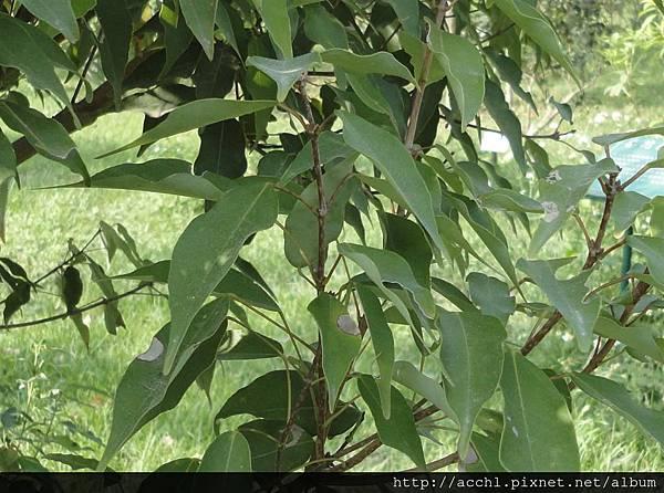 樟葉槭對生葉 (Large)