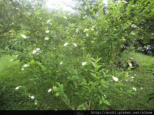 玉葉金花為叢生性灌木 (Large)