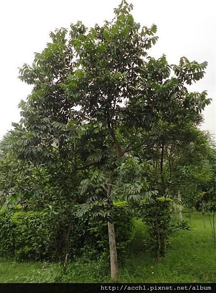 橄欖樹 (Large)