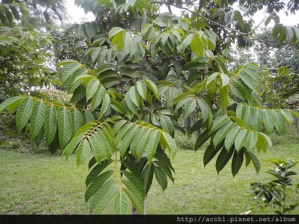 橄欖葉 (Large)