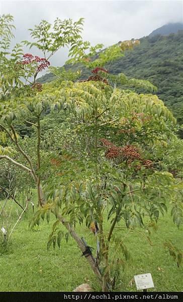 火筒樹 (Large)