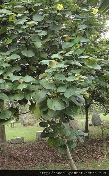 黃槿樹形 (Large)