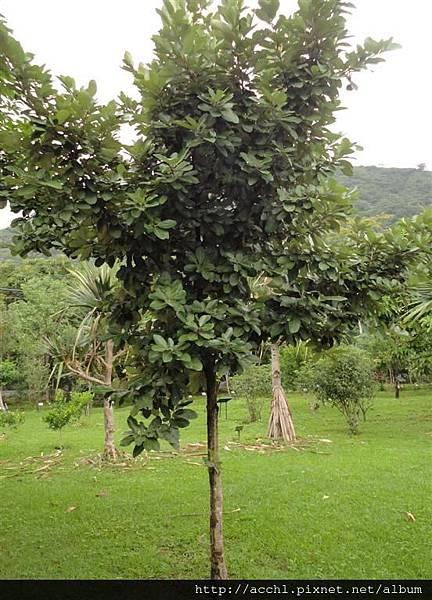 銀葉樹 (Large)