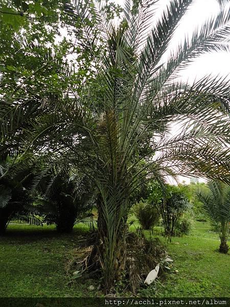 中東海棗樹形