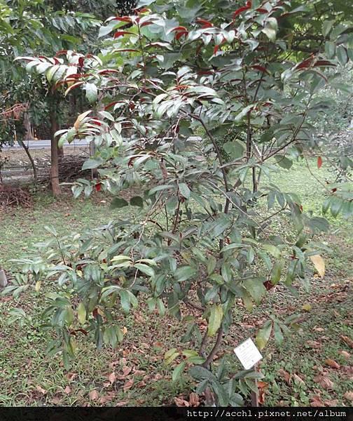 青紫木 (Large)