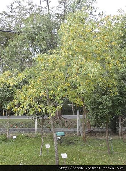 山胡椒樹形 (Large)