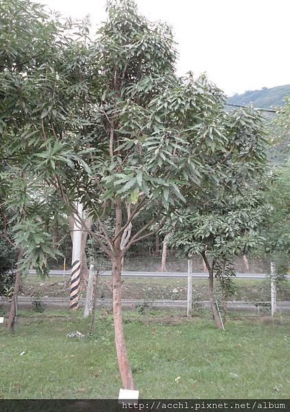 長葉木薑子樹形