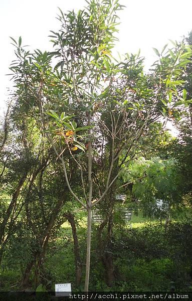 武威山枇杷樹