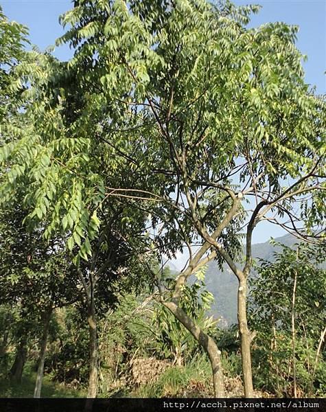 化香樹 (Large)