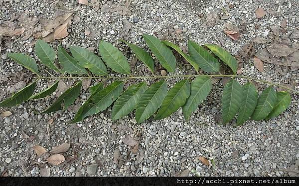 化香樹複葉 (Large)
