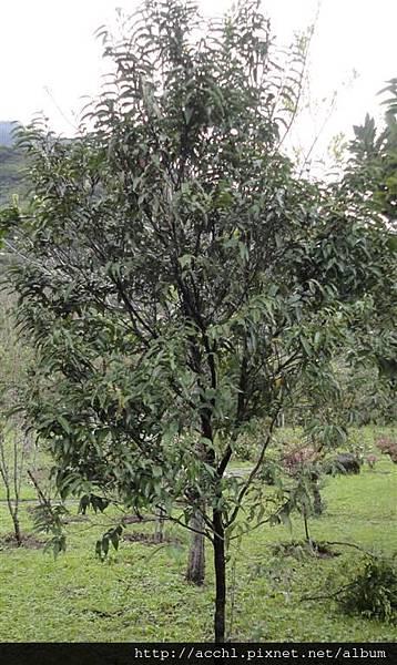 軟毛柿 (Large)