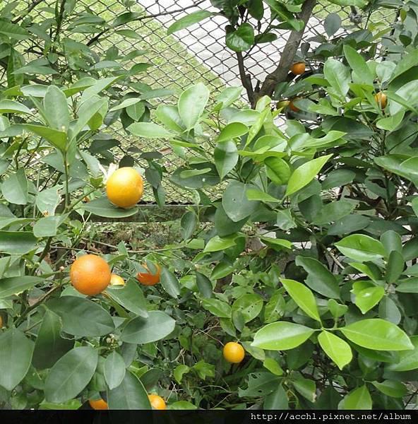 金桔是鳳蝶食草植物 (Large)