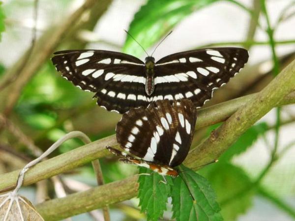 琉球三線蝶.bmp