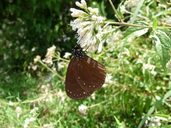 亞泥之圓翅紫斑蝶.JPG