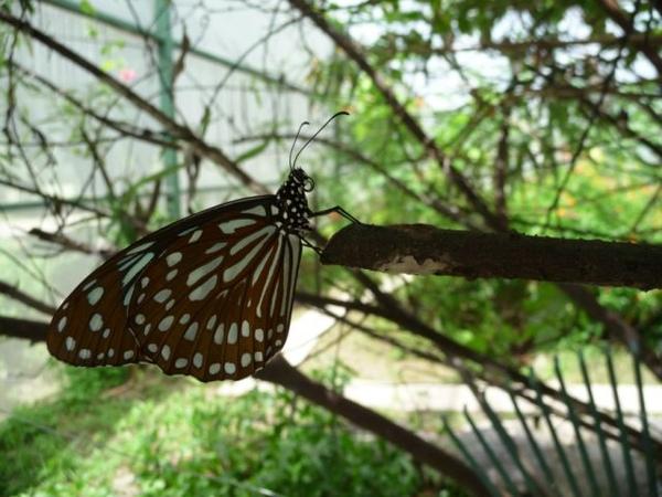 亞泥之淡小紋青斑蝶之二.JPG